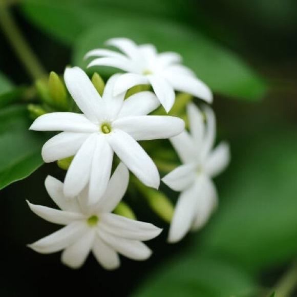 jasminesparkle